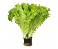 Салат листовий в горщику, шт